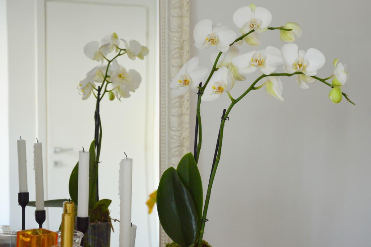 Come curare le orchidee segreti per farle rifiorire e mantenerle in casa - Come curare un orchidea in casa ...